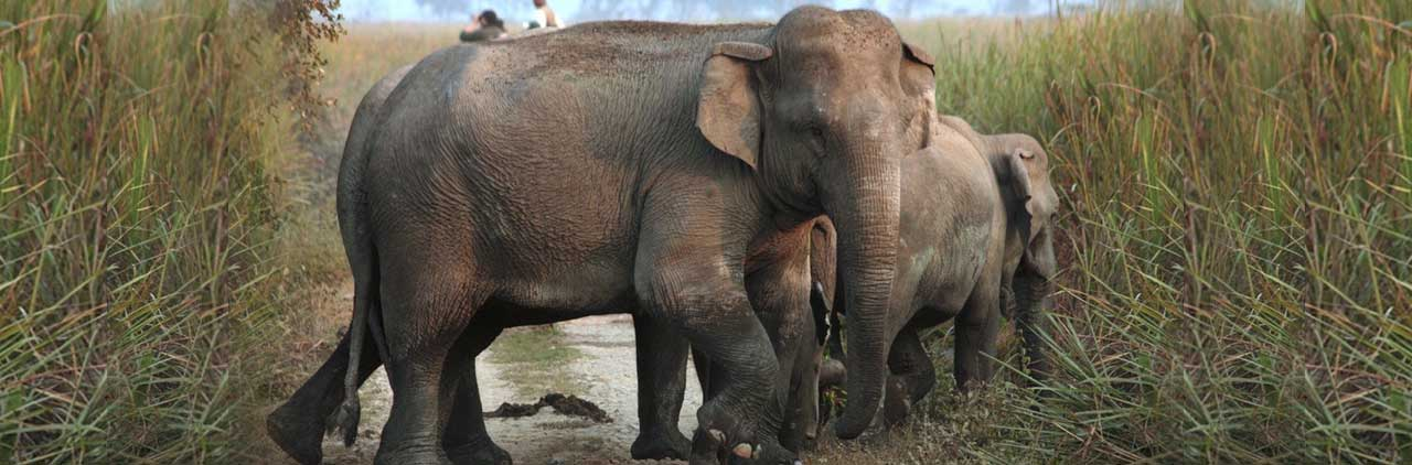 Information about Indian Elephant | Facts, Food, Behavior of